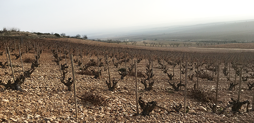 Old-garnacha-bush-vines-at-Palacios-Remondo's-Propiedad-vineyards