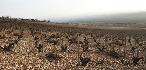Old-garnacha-bush-vines-at-Palacios-Remondo's-Propiedad-vineyards