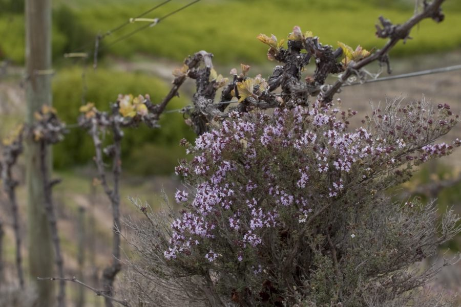 Wild thyme on Hinton Estate Vineyard