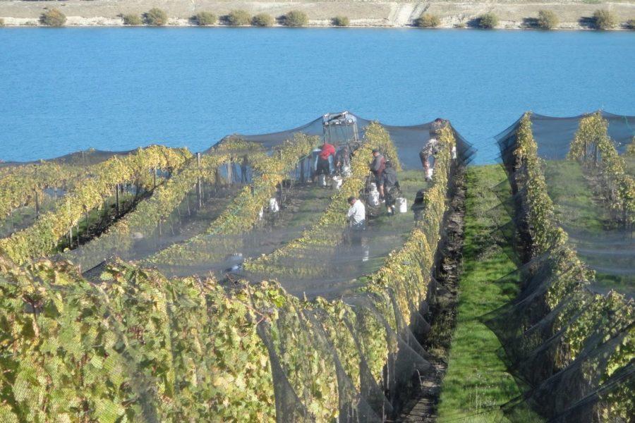 mishas-vineyard