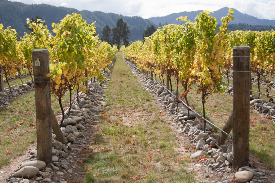 Sauvignon blanc vines