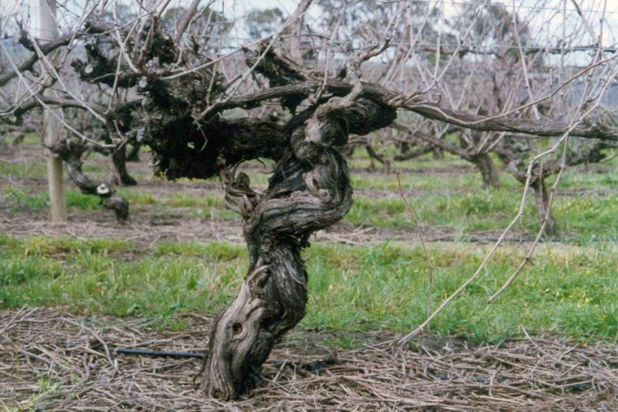 An old vine at Hamilton Ewell Vineyards